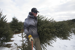 Carrying a U-Cut Christmas Tree with hand Saw